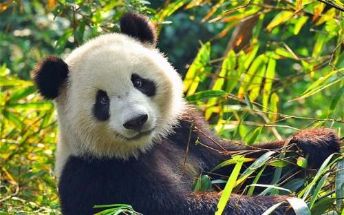 panda_2655261b