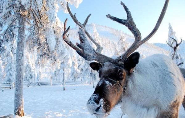 reindeersledtripoymyakon_23